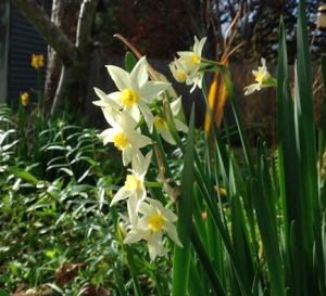 jonquils May 2014