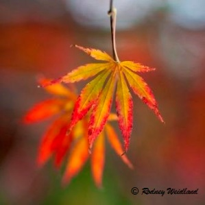Katoomba Autumn Leaves copyright RW