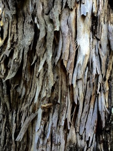 shaggy bark
