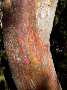 stripped red bark of gum