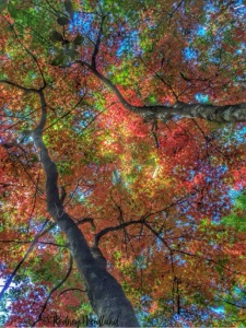 Autumn leaves from Mt Wilson Rodney May 2016 with copyright